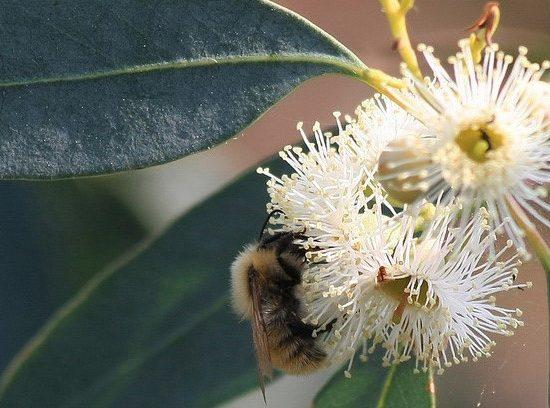 Eucalyptus E APE