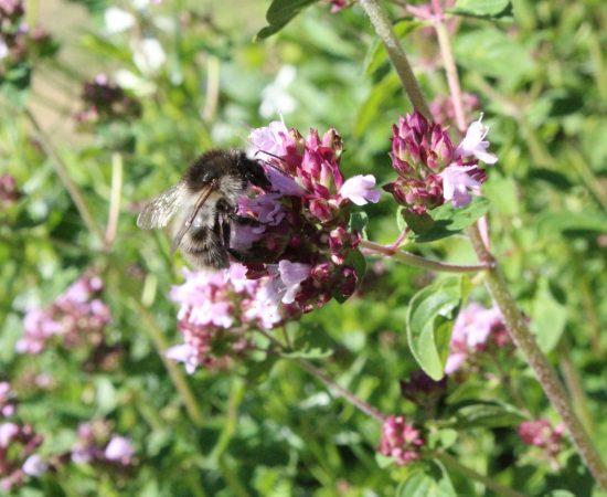 THYME 1 bee-flowers-oregano-bumblebee-pink-flower-herbs-1444339-pxhere.com