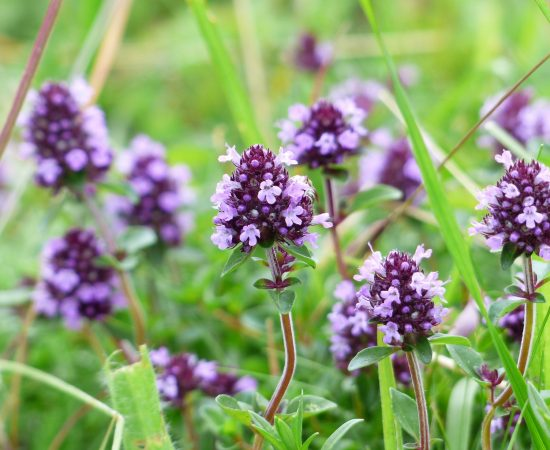 THYME 1 -plant-meadow-flower-bloom-herb-1121381-pxhere.com