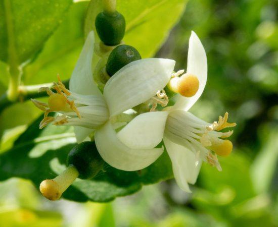 flower-citrus-lemon-blooming-flowering-plant-white-1592987-pxhere.com (1)