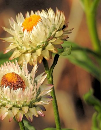 helichrysum flower-505091-pxhere.com