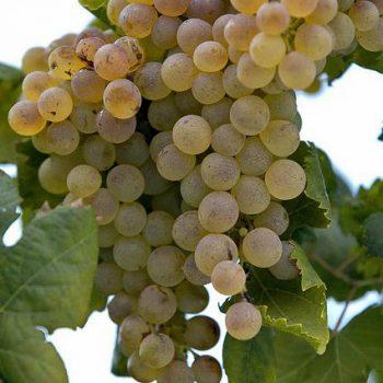 torbato-grape