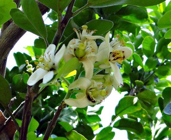 tree-branch-blossom-plant-fruit-flower-1100638-pxhere.com